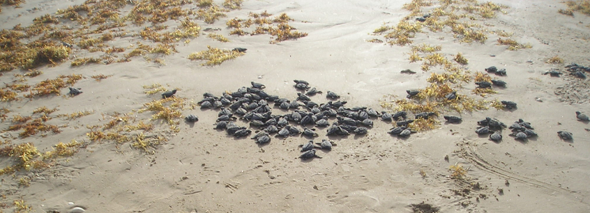 Sea Turtle Hatchlings on South Padre Island in Texas