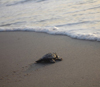 A sea turtle hatchling nears the ocean which will become its new home