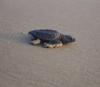 A single hatchling makes its way toward the sea in 2008