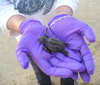 Mary Ann Tous holds a newborn hatchling in her hands